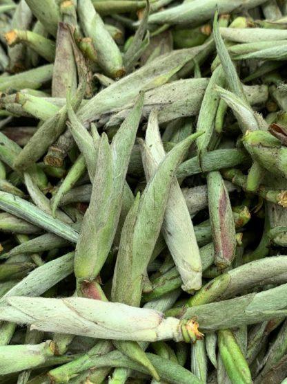 Feuilles de thé fraîches - Thé du Vietnam Thé Blanc - Griffes de Dragon